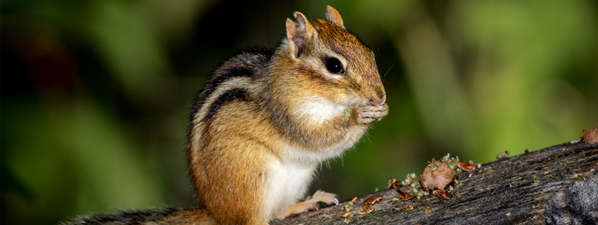 Chipmunk Trapping & Removal Service